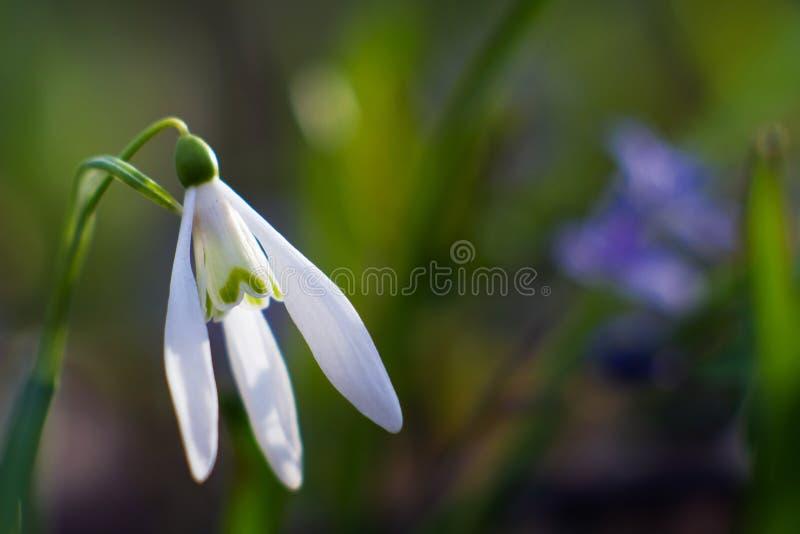 Den gemensamma snödroppeblomman, Galanthus nivalis, tycker om ljust solsken på den tidiga vårdagen, mjuk färgrik suddig bakgrund royaltyfria bilder