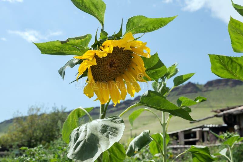 Den gemensamma solrosen blommar i kökträdgården mot himlen i en solig dag royaltyfri fotografi