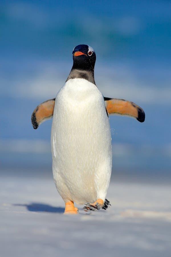 Den Gentoo pingvinet hoppar ut ur det blåa vattnet, medan simma till och med havet i Falkland Island Handlingdjurlivplats från na royaltyfri fotografi