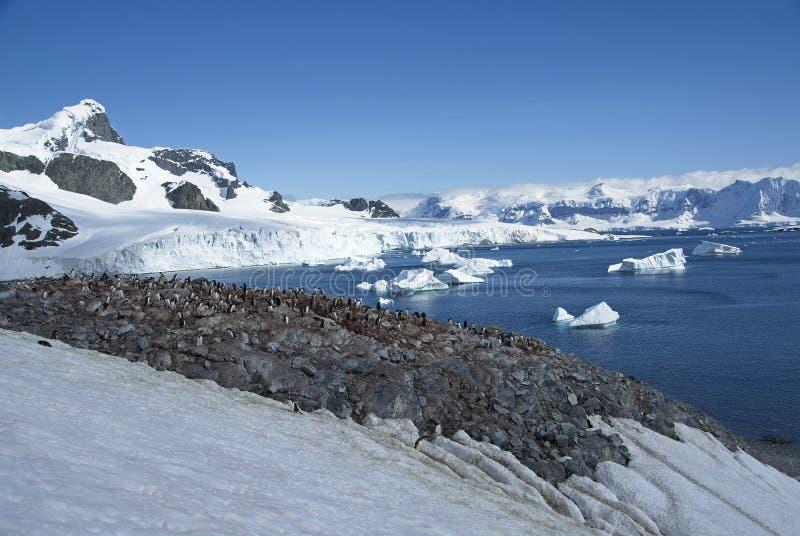 Den Gentoo pingvinråkkolonin förbiser att bedöva antarktiskt landskap royaltyfria foton