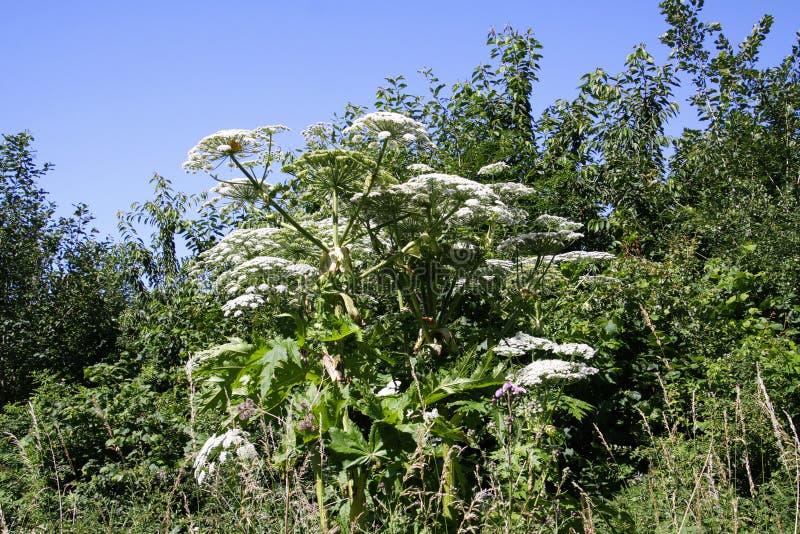 Den giftiga vita blomningjätten hogweed Heracleummantegazzianumgiganteum mot blå himmel arkivbilder