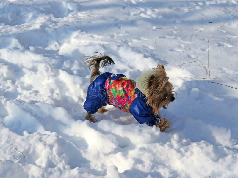 Den gladlynta dekorativa hunden i kläder som kör i vinter på insnöat, parkerar arkivbilder