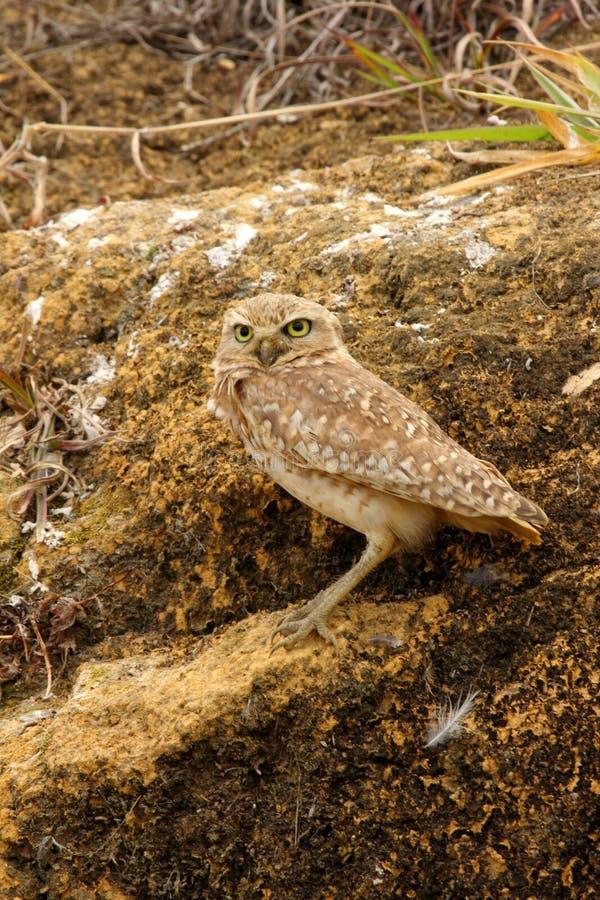 Den gräva ugglaAthenecuniculariaen är en lilla långbent uggla som finnas genom hela öppna landskap av norden, och Sydamerika arkivfoto