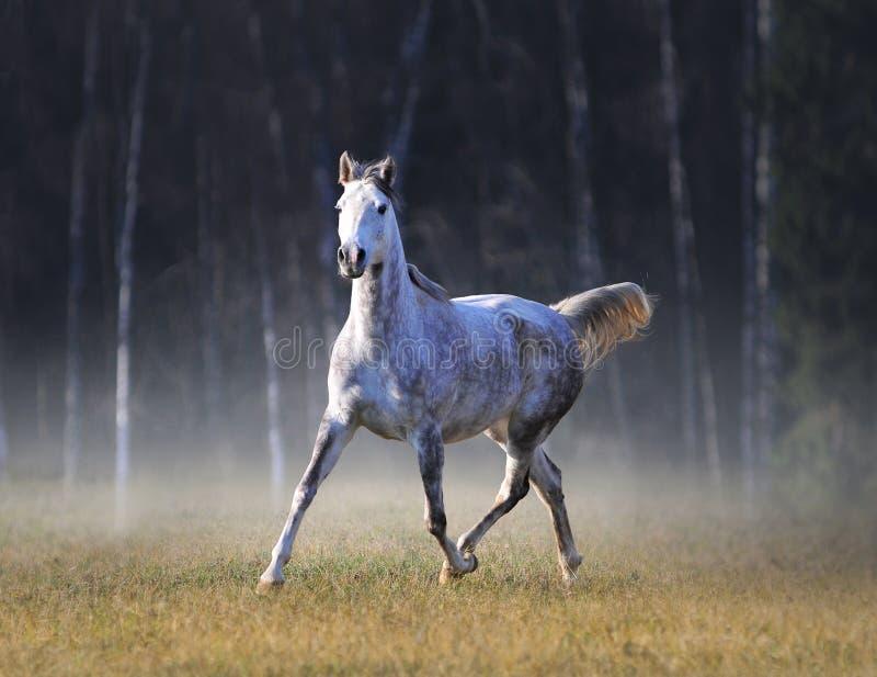 Den gråa arabiska hästen kör fritt i frostig höstmorgon royaltyfri fotografi