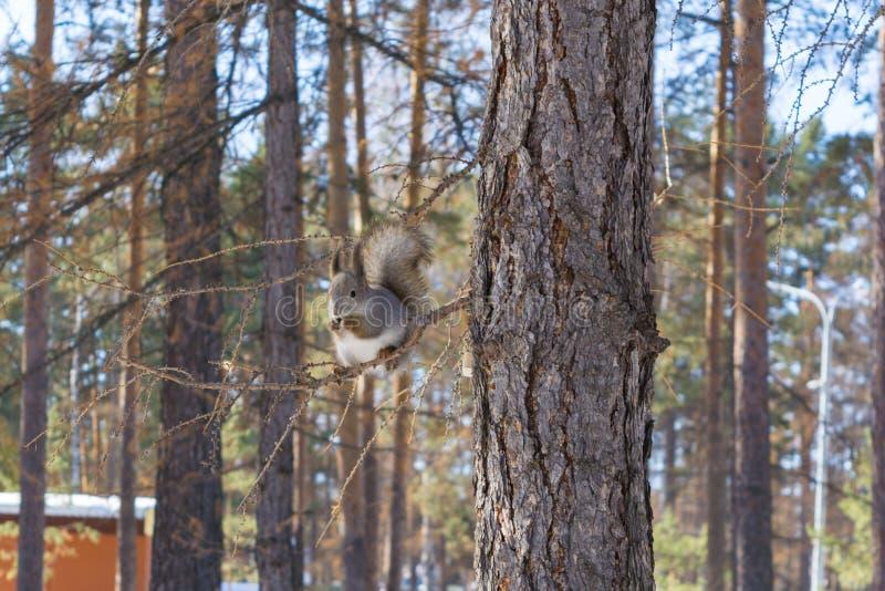 Den gråa ekorren klamra sig fast intill en sörjastam i hösten parkerar Ryssland södra Ural arkivbilder