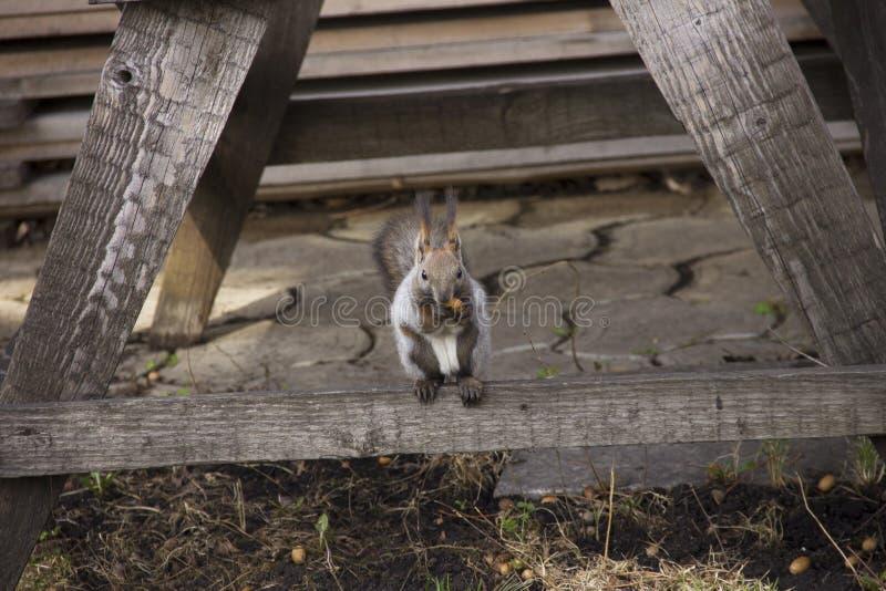 Den gråa ekorren samlar och äter ekollonar Rotationen i natur Djur matning fotografering för bildbyråer