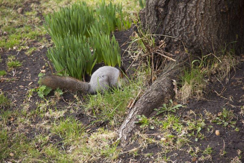 Den gråa ekorren samlar och äter ekollonar Rotationen i natur Djur matning royaltyfria bilder