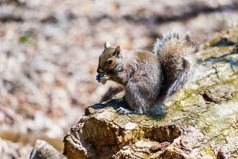 Den gråa ekorren som äter muttern som in rymms, tafsar arkivbild