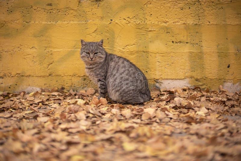 Den gråa fattiga tillfälliga katten som sitter nära den gula väggen på höstsidor parkerar in, i Odessa royaltyfria foton
