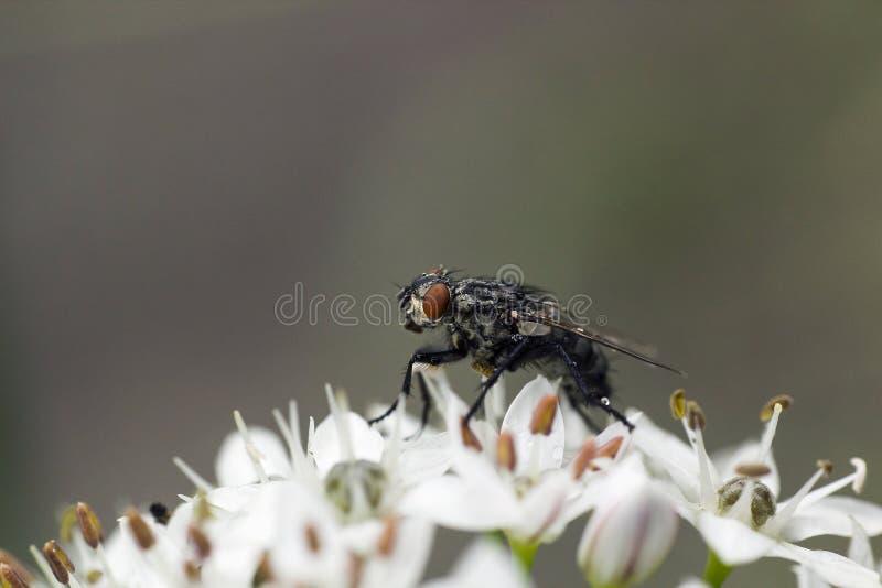 Den gråa flugan i regndroppar fryste på vita blommor arkivfoton