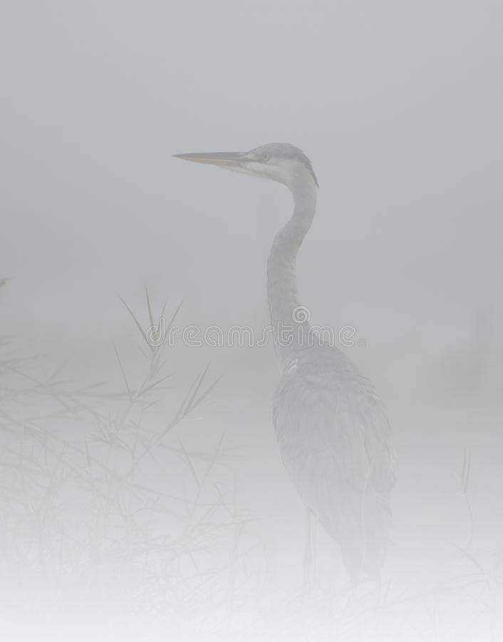 Den gråa hägret i dimma royaltyfri foto