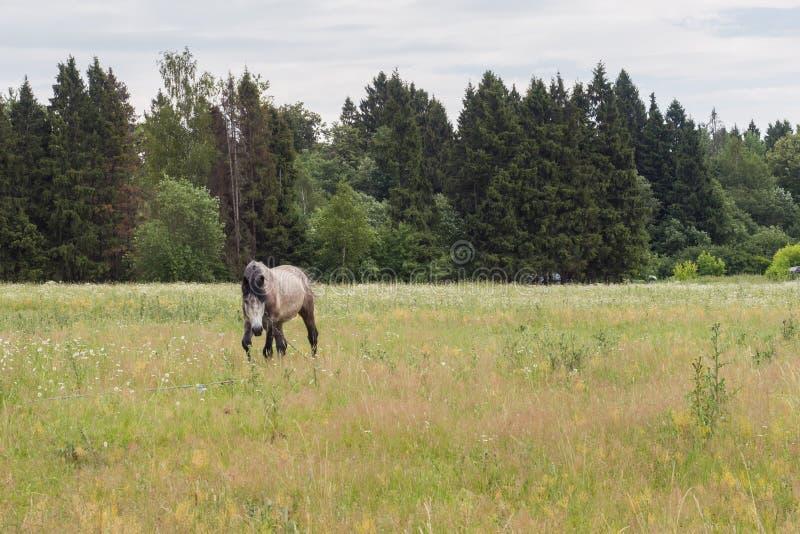 Den gråa hästen äter gräs på ett grönt fält betande h?stlawn royaltyfri foto