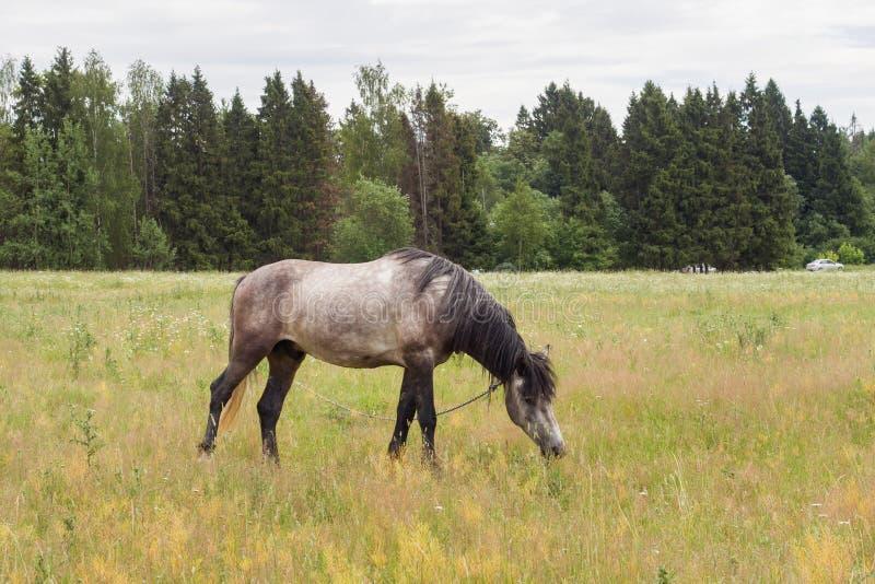 Den gråa hästen äter gräs på ett grönt fält betande h?stlawn arkivfoton