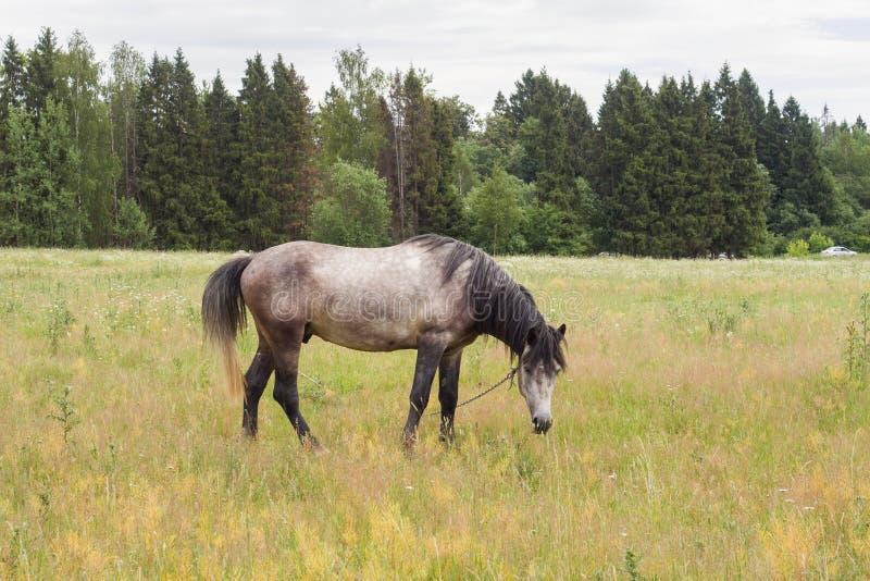 Den gråa hästen äter gräs på ett grönt fält betande h?stlawn royaltyfri bild
