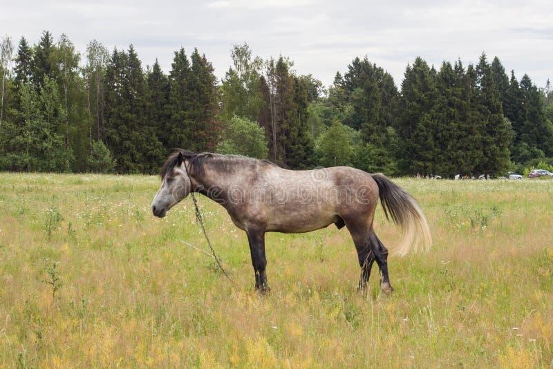 Den gråa hästen äter gräs på ett grönt fält betande h?stlawn royaltyfria bilder