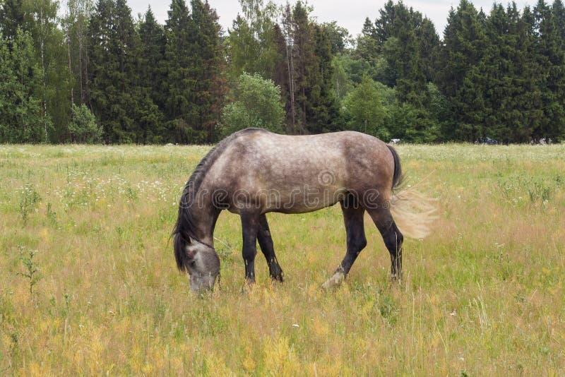 Den gråa hästen äter gräs på ett grönt fält betande h?stlawn arkivbild