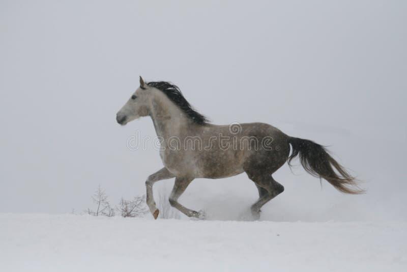 Den gråa hingsten som galopperar på lutningen i snön En häst galopperar i djup snö Snö flyger från klövarna royaltyfri foto