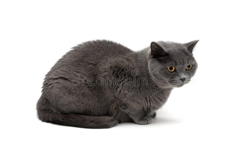 Den gråa katten föder upp skotsk raksträcka som isoleras på vit bakgrund arkivbild