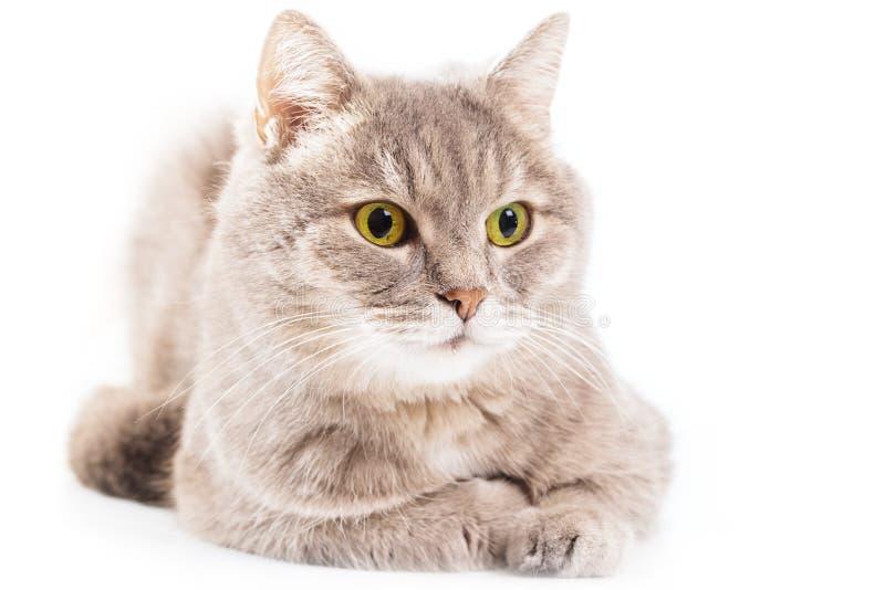 Den gråa katten har bottenläget som ner sitts, har kura ihop sig ner och ser åt sidan royaltyfri fotografi
