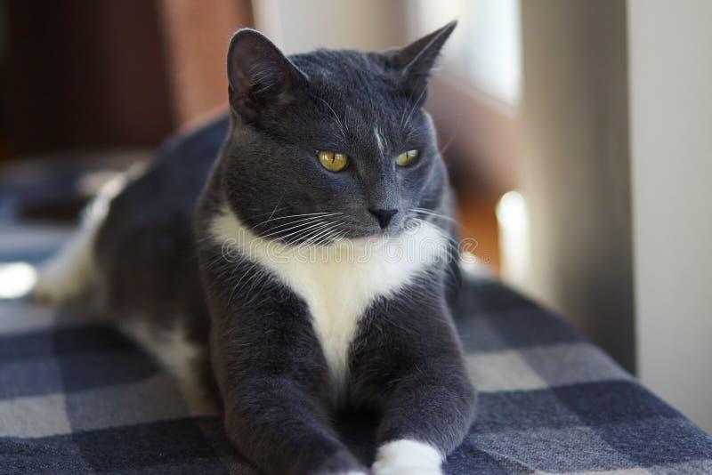 Den gråa katten ligger på en plädfilt av grå färg royaltyfria bilder