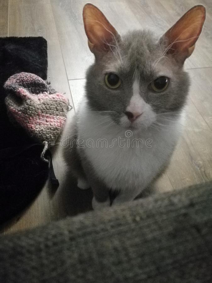 Den gråa katten med stora öron ser dig med ilskna ögon arkivbild