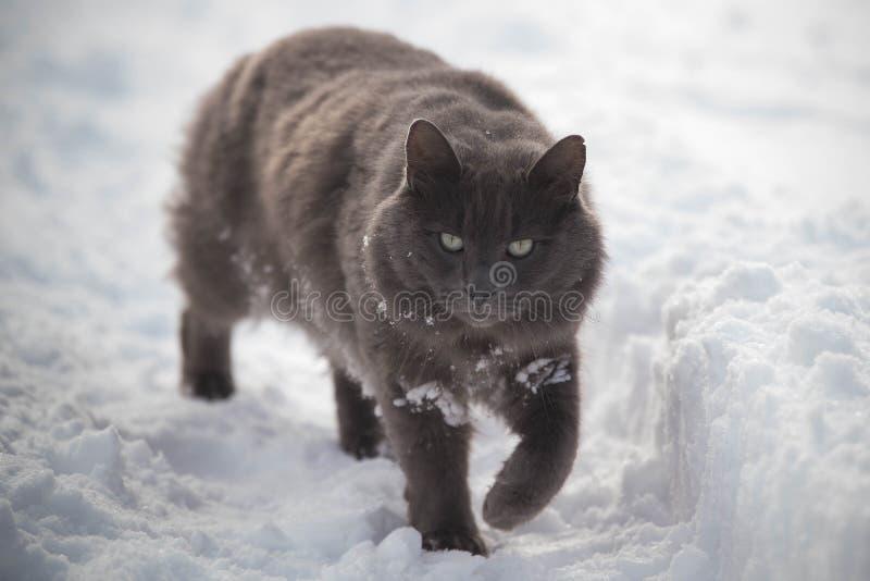 Den gråa katten som igenom går snöar han royaltyfri foto