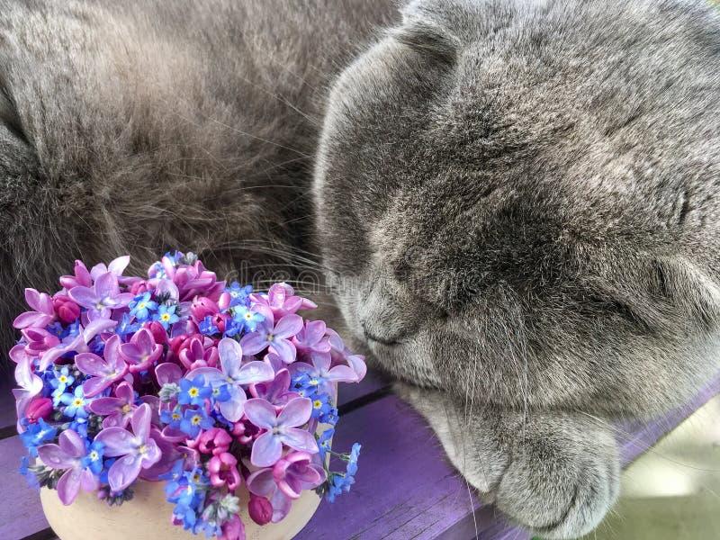 Den gråa katten sover bredvid en bukett av lilor och glömma-mig-nots royaltyfri bild
