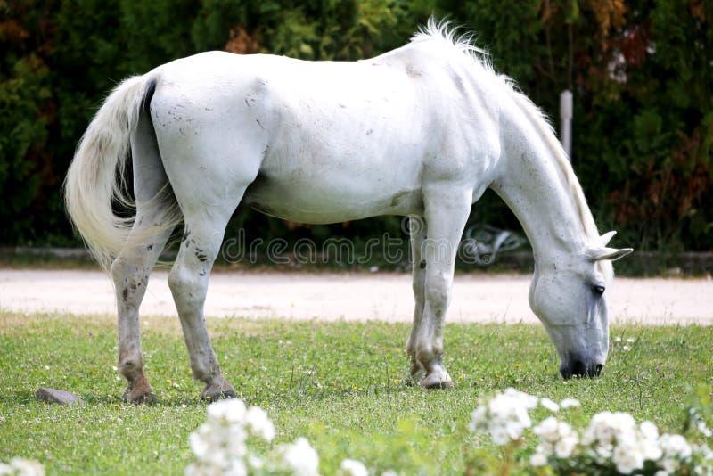 Den gråa kulöra lipizzanerhästen äter gräs på en grön lantlig ranch royaltyfri foto