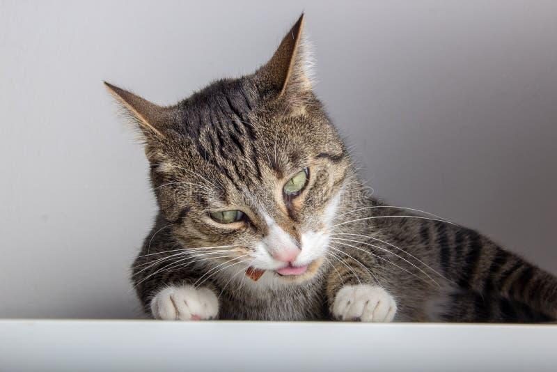 Den gråa strimmiga katten tycker om ett mellanmål royaltyfri bild