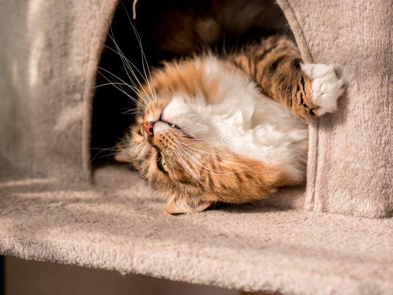Den gråvita kattmaine-coon spelas efter lunch arkivbild
