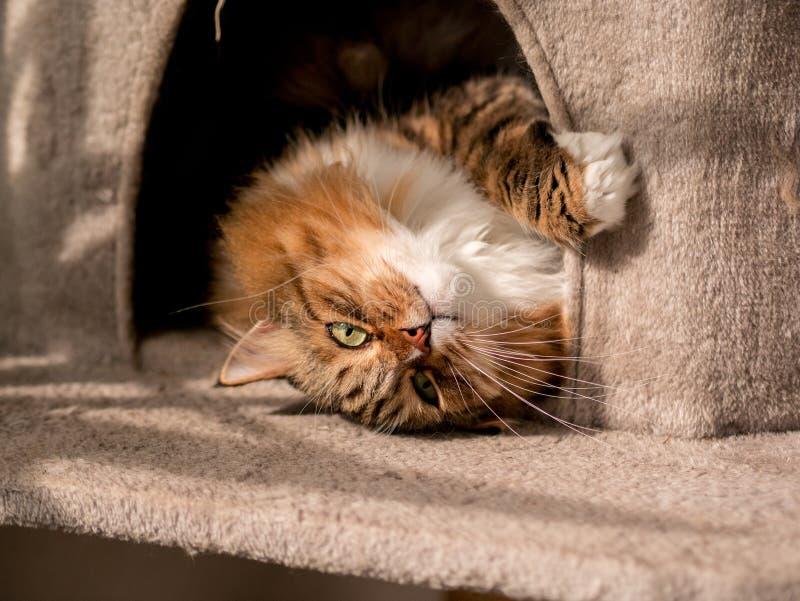 Den gråvita kattmaine-coon spelas efter lunch royaltyfri bild