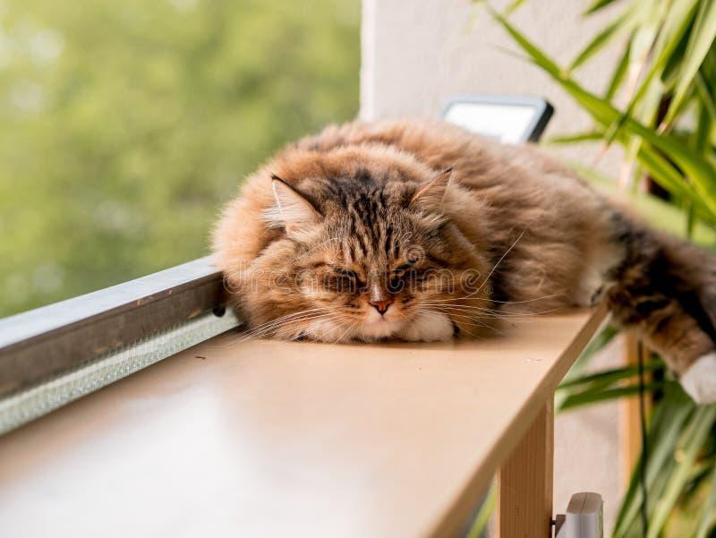 Den gråvita kattmaine-coon spelas efter lunch arkivfoton