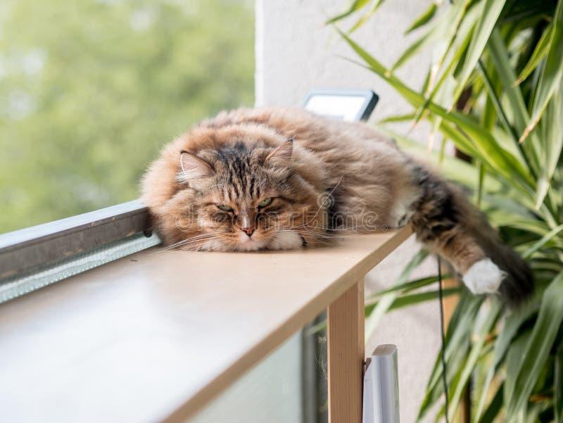 Den gråvita kattmaine-coon spelas efter lunch royaltyfri fotografi