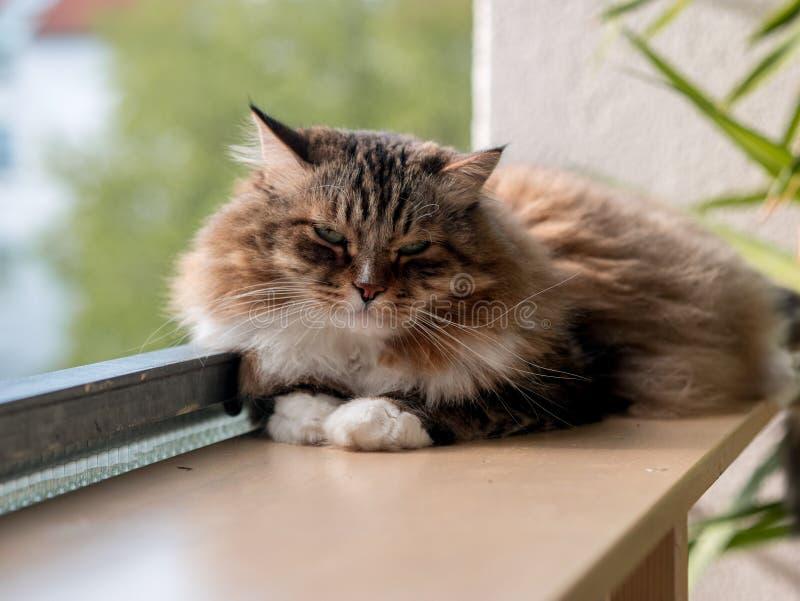 Den gråvita kattmaine-coon spelas efter lunch royaltyfria foton