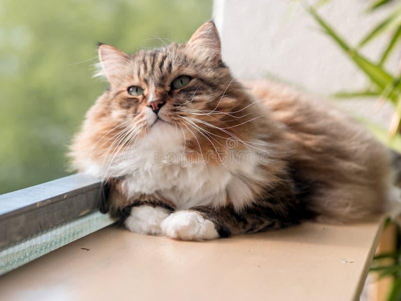 Den gråvita kattmaine-coon spelas efter lunch royaltyfri foto