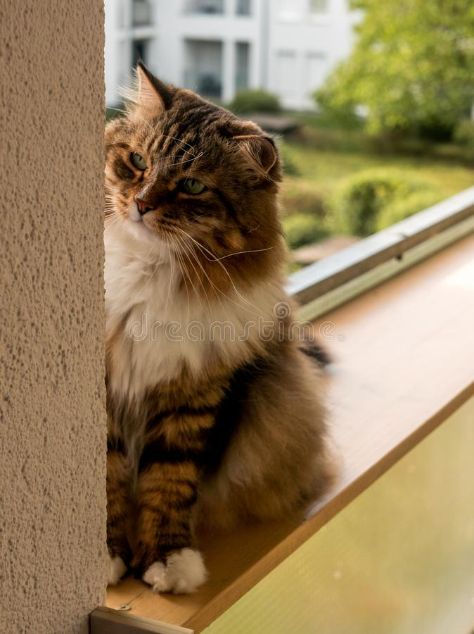 Den gråvita kattmaine-coon spelas efter lunch royaltyfria bilder