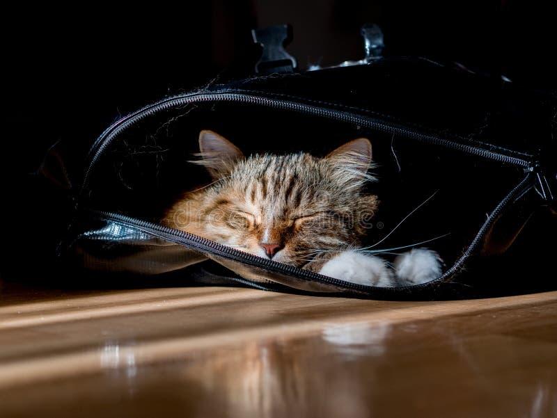 Den gråvita kattmaine-coon spelas efter lunch arkivbilder