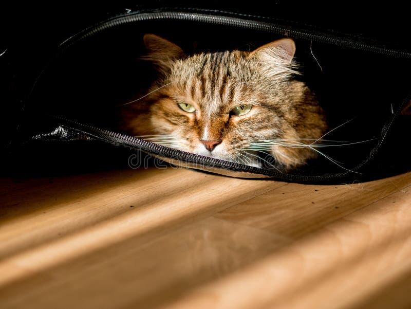 Den grÃ¥vita kattmaine-coon spelas efter lunch fotografering för bildbyråer