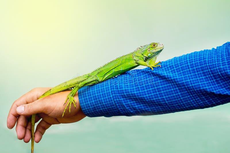 Den gröna ödlan sitter i en man på hans långsträckta hand Vara attentiv arkivfoto
