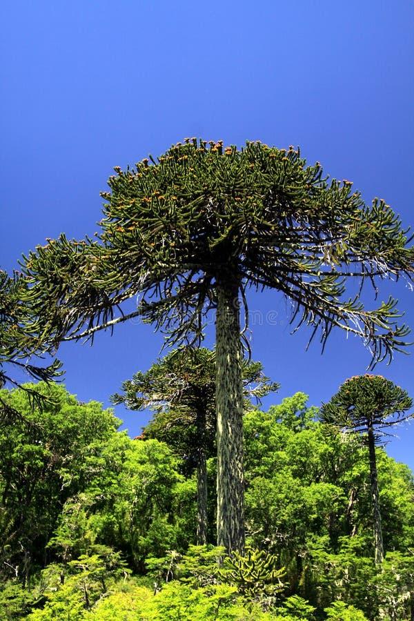 Den gröna araucariaaraucanaen sörjer träd i Conguillio NP i centrala Chile mot djupblå molnfri himmel royaltyfri foto