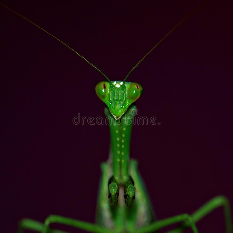 Den gröna bönsyrsan tänker royaltyfria bilder