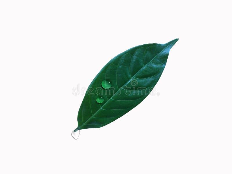 Den gröna bladväxten med lilla droppen av vatten är på vit bakgrund royaltyfria foton