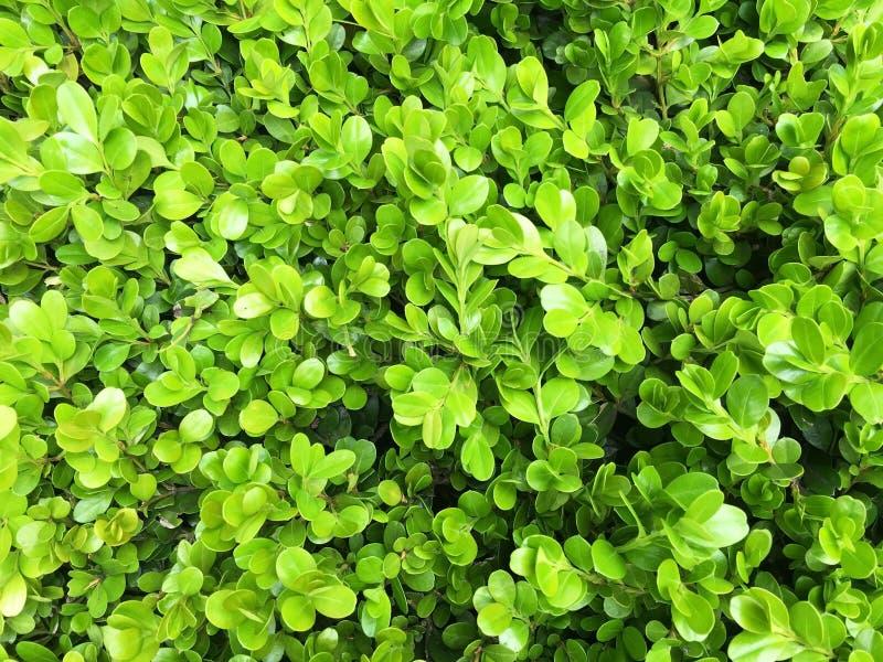 Den gröna busken lämnar väggbakgrund arkivfoto