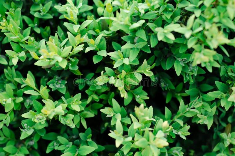 Den gröna busken lämnar väggbakgrund royaltyfria foton