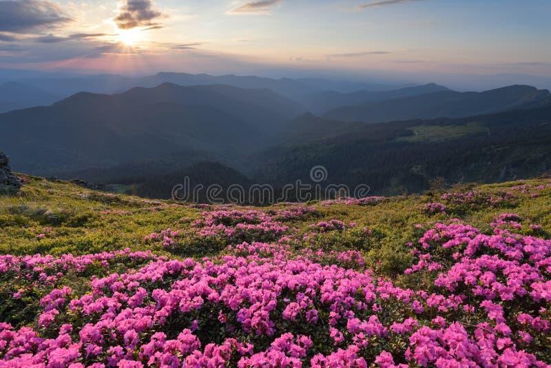 Den gröna dalen som är hög på bergen i sommardag, spangleds med många trevliga rosa rhododendroner Solnedgången med strålar royaltyfri foto