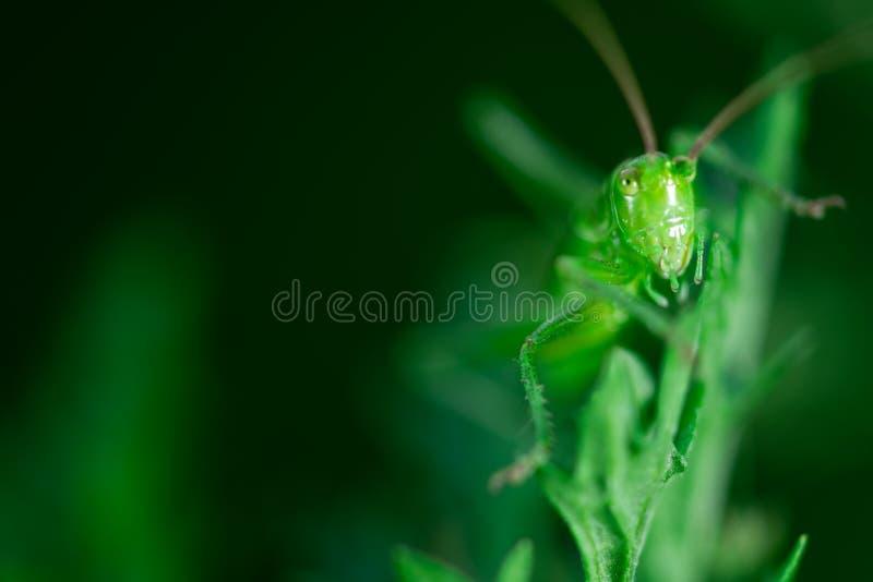 Den gröna gräshoppan sitter på ett blad, den stora gröna Bush-syrsan, Orthoptera, artropod royaltyfri bild