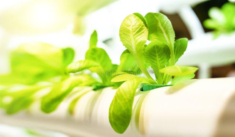 Den gröna grönsakbladmodellen är den hydroponic lantgården för organisk odling Ekonomisk affärsidé för natur arkivbild