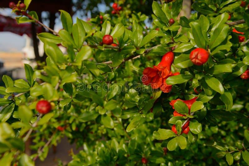 Den gröna granatäpplet förgrena sig med röda blommor arkivbilder