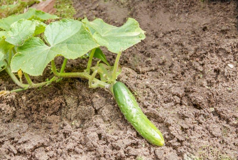 Den gröna gurkan växer på lantgården som väntar på dess mognad, begreppet av organisk mat och sunt äta royaltyfria bilder