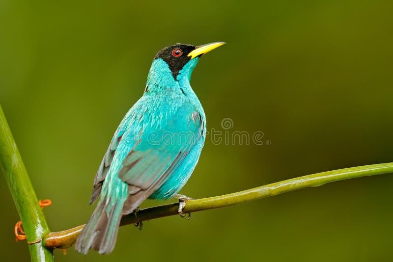 Den gröna Honeycreeper, Chlorophanes spizaen, exotisk vändkretsmalakitgräsplan och blåttfågeln bildar Costa Rica Tanager från vän arkivbilder